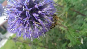 Biene auf Blüte Bestäubung durch die Bienen